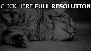chat noir et blanc museau gros plan