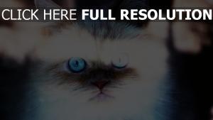 chat yeux bleus gros plan vue de face