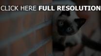 chat curieux yeux bleus arrière-plan flou