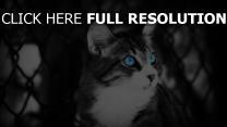 chat noir et blanc yeux bleus