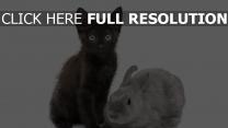 chat noir lapin vue de face