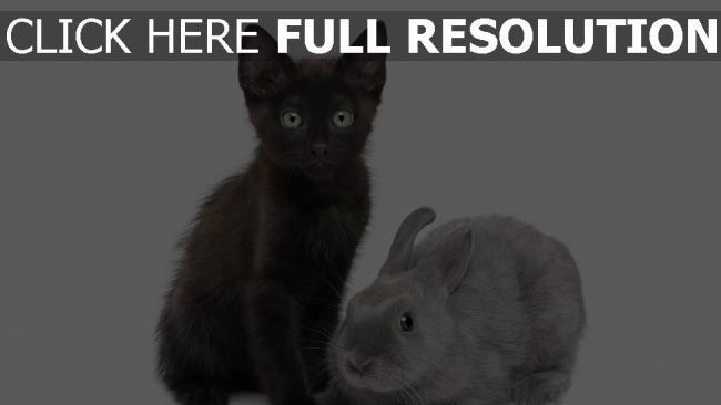fond d'écran hd chat noir lapin vue de face