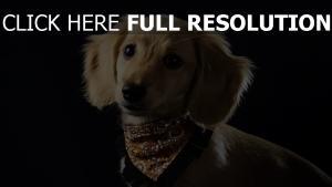 chien écharpe regard teckel
