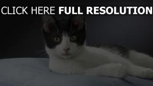 chat regard duveteux noir et blanc