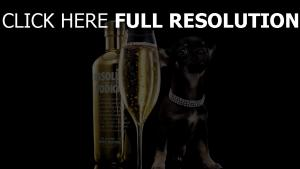bouteille verre luxe chihuahua collier