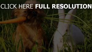 pékinois carotte lapin blanc