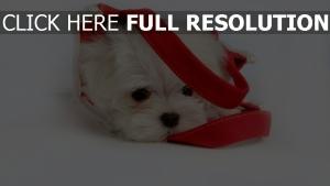 yorkshire terrier triste sac