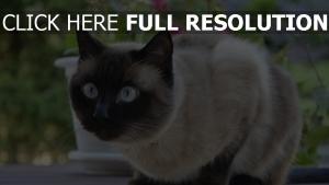 étonnement chat yeux bleus