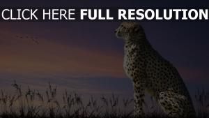 guépard champ ciel majestueux