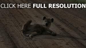 hyène route amusant