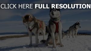 husky attelage duveteux arctique