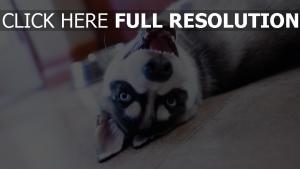 husky museau grimace bouche