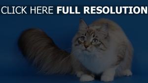 chat attentif yeux bleus duveteux