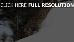 lynx montagne prédateur montagne enneigé
