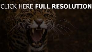 léopard bouche prédateur crocs