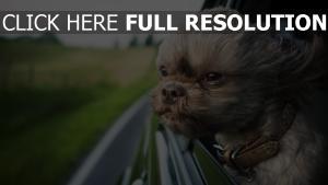 yorkshire terrier museau vent fenêtre