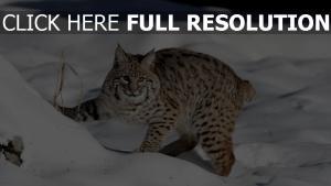 lynx enneigé regard prédateur