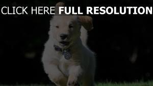 golden retriever courir amusant