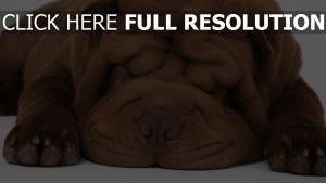 shar-peï yeux fermés dormir