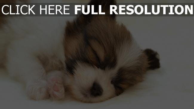 fond d'écran hd chiot dormir mignon yeux fermés