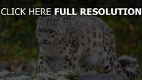 panthère des neiges chasse prédateur