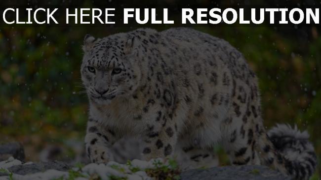 fond d'écran hd panthère des neiges chasse prédateur