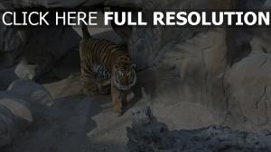 tigre prédateur vue d'en haut rock