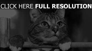 chat attentif noir et blanc