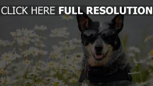 chien lunettes de soleil collier champ