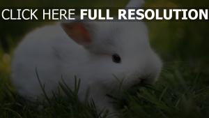 lapin blanc duveteux museau gros plan