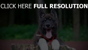 chien langue akita américain museau