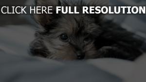 yorkshire terrier regard gros plan