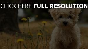 yorkshire terrier museau mignon arrière-plan flou
