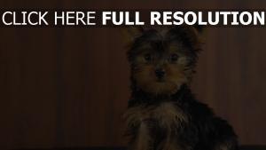yorkshire terrier mignon pensif