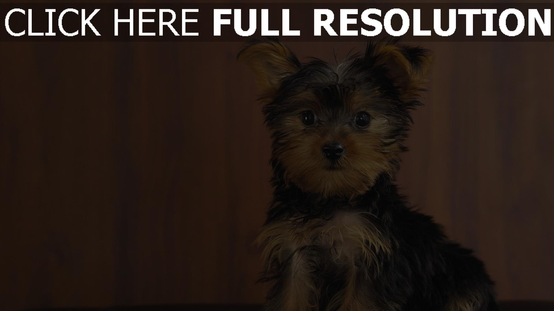 Fond d'écran HD yorkshire terrier mignon pensif, Images et Photos