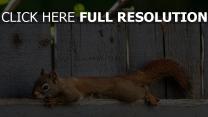 écureuil clôture gros plan