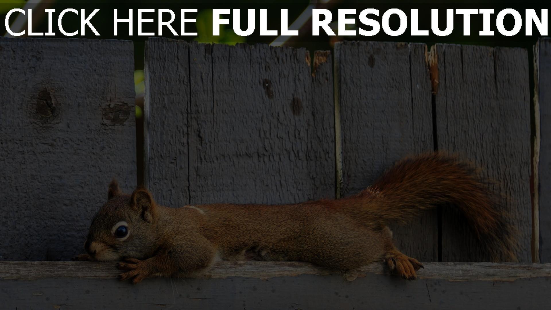 fond d'écran 1920x1080 écureuil clôture gros plan
