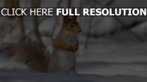 écureuil hiver museau gros plan