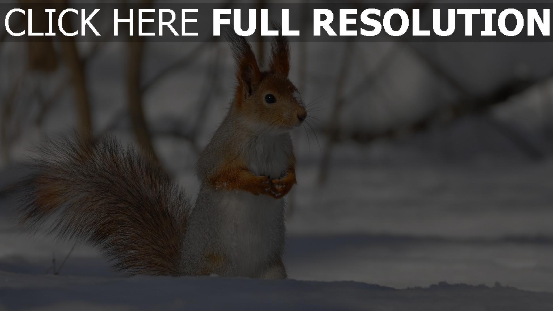 fond d'écran 1920x1080 écureuil hiver museau gros plan