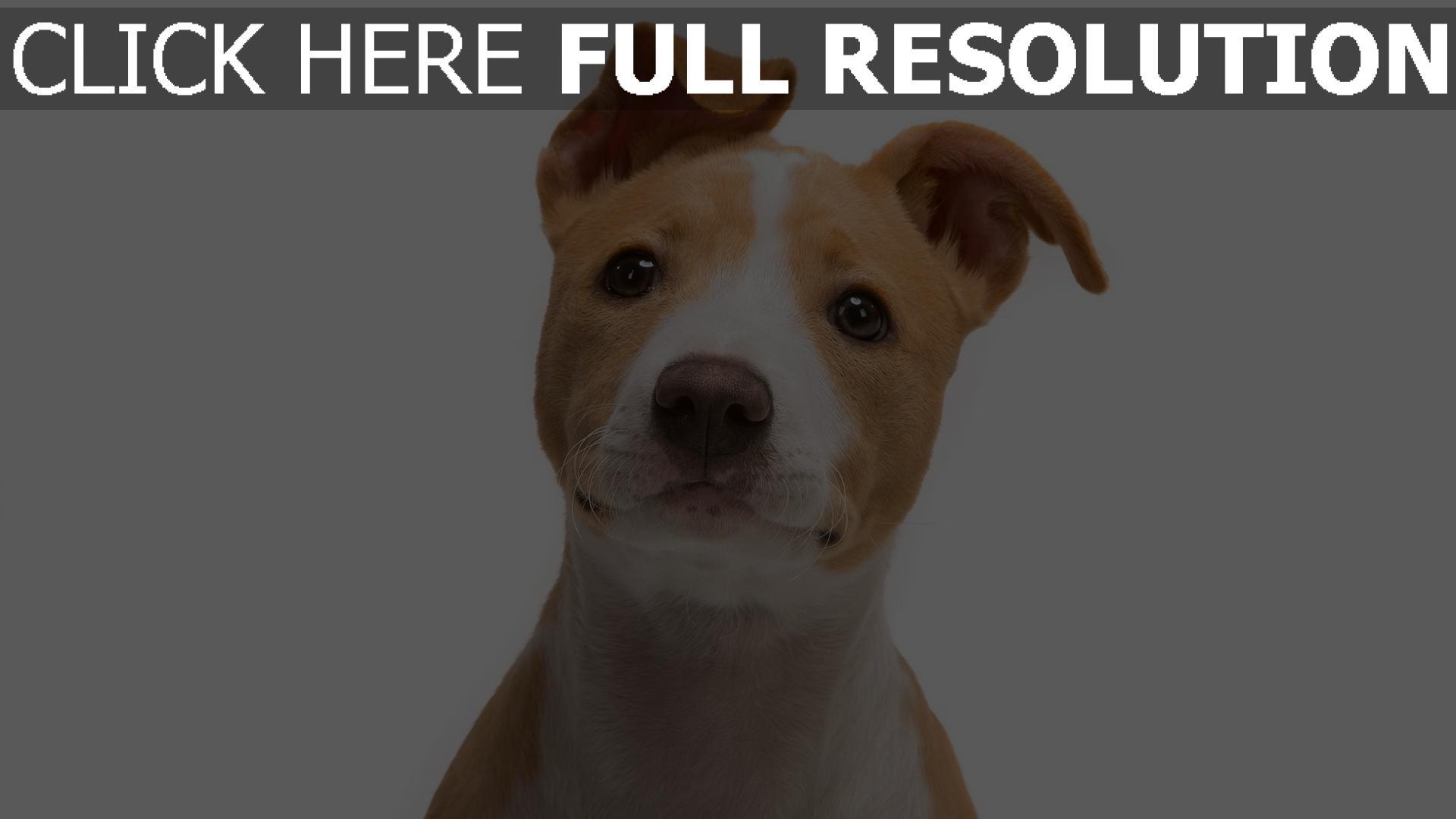 fond d'écran 1920x1080 chien museau attentif vue de face
