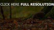 hérisson automne forêt gros plan