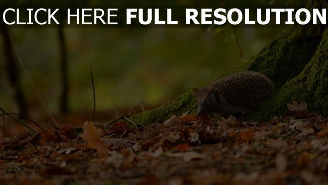 fond d'écran hd hérisson automne forêt gros plan