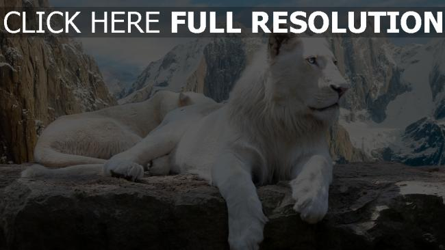 fond d'écran hd lion blanc montagne enneigé