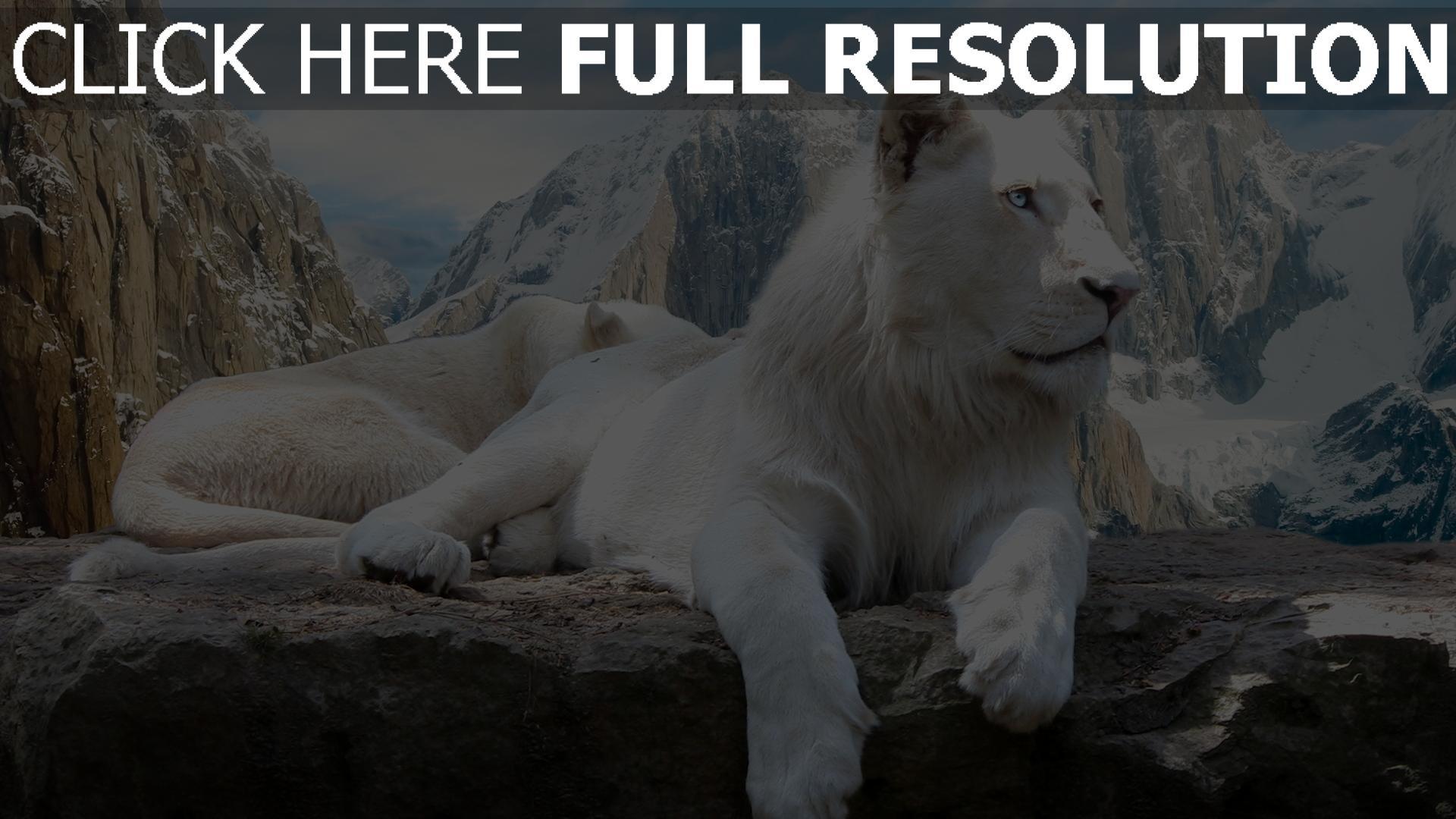 fond d'écran 1920x1080 lion blanc montagne enneigé
