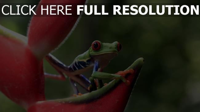 fond d'écran hd grenouille pétale arrière-plan flou tropical