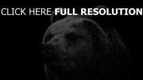 ours museau gros plan noir et blanc