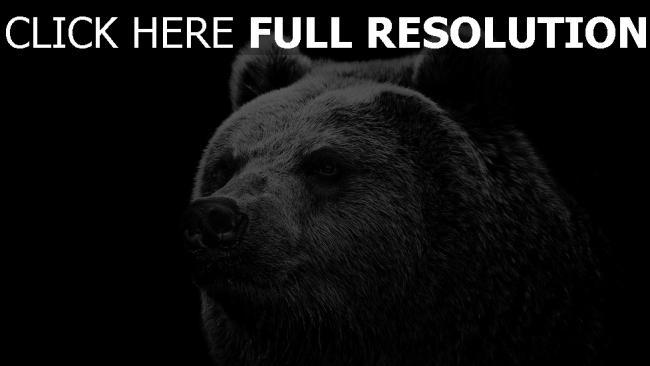 fond d'écran hd ours museau gros plan noir et blanc