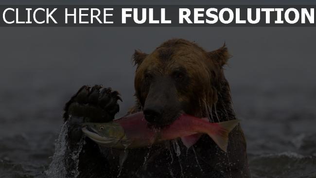 fond d'écran hd ours humide pêche poisson