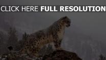 léopard des neiges montagne himalaya gros plan