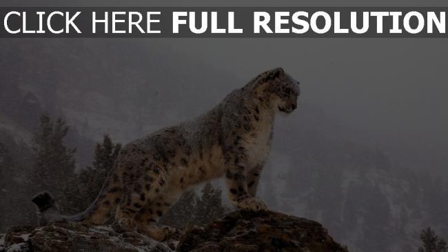fond d'écran hd léopard des neiges montagne himalaya gros plan